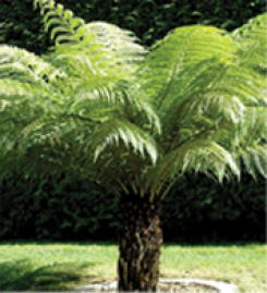 tree-ferns-img
