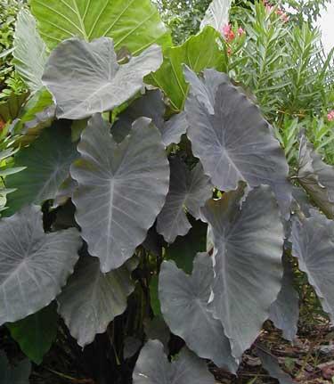Complete plant description of colocasia esculenta