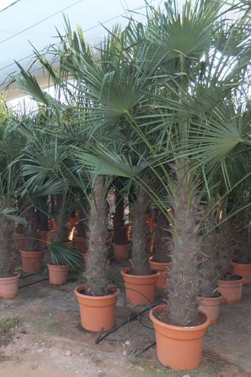 trachycarpus fortunei palm trees. Black Bedroom Furniture Sets. Home Design Ideas