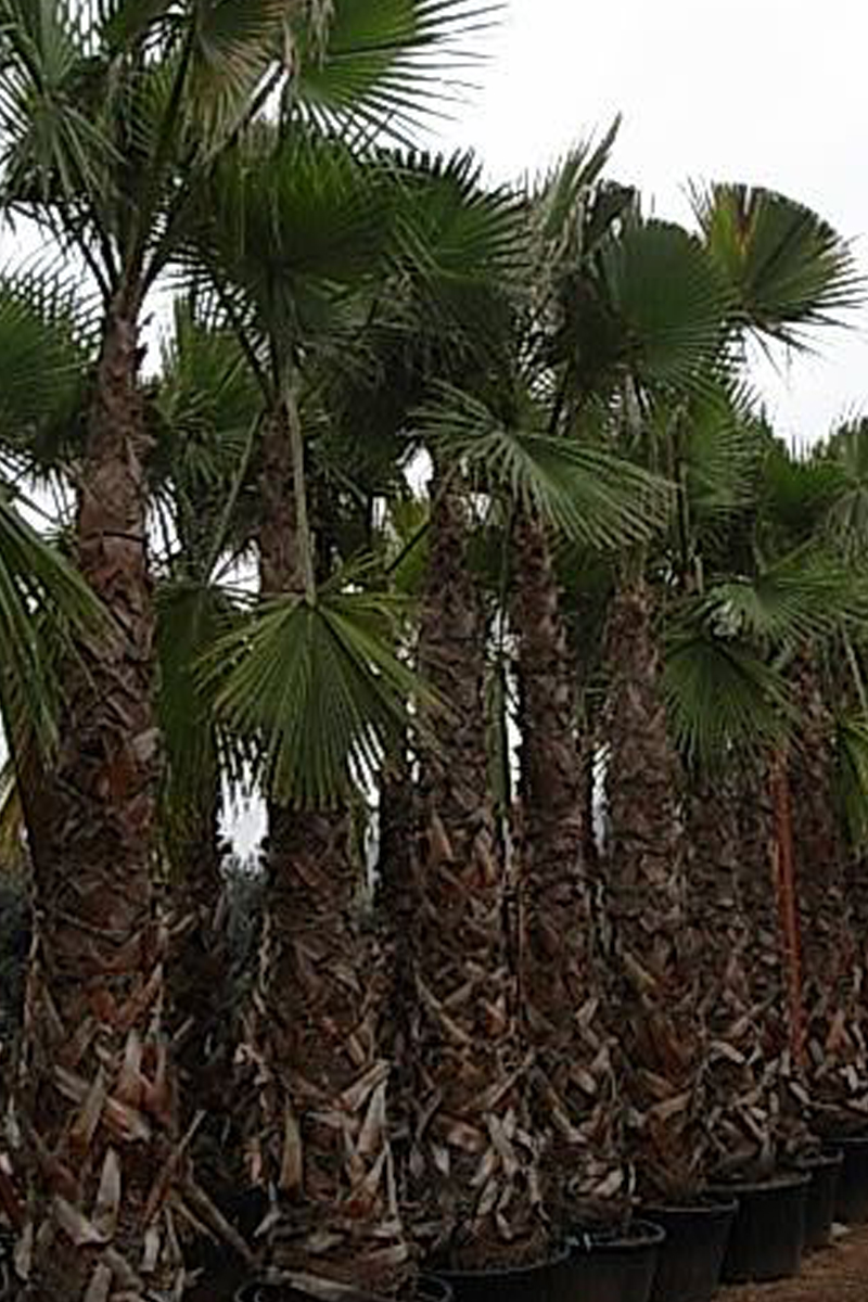Palm Trees Washingtonia Robusta